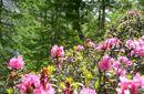 Cultura & fioritura del rododendro