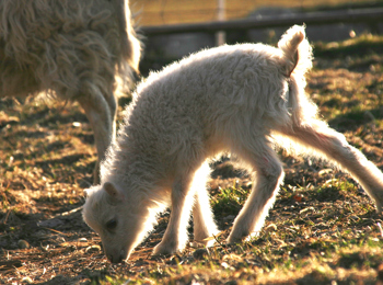 A baby sheep