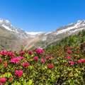 Alpenrosen in Langtaufers