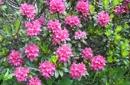 Alpenrosenblüte vom 20.06. bis 04.07.2015