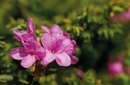 Alpenrosenblütenwochen