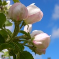 Apfelblüte in Südtirol