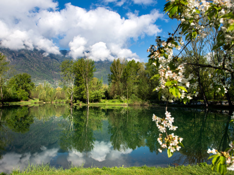 Blossoming of apple trees Lana
