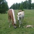 Cavalli a Merano