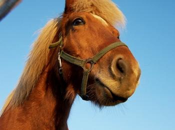 Cavallo Haflinger