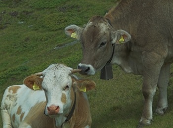 Cows in Terenten