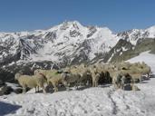 Transumanza nella Val di Senales