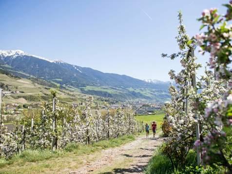 Fioritura dei meli a Bressanone