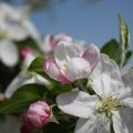 Fioritura delle mele