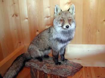 Fuchs im Naturparkhaus Schlern-Rosengarten