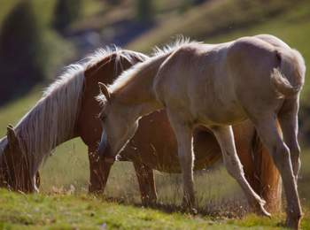 Haflinger foal and mare