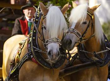 Haflinger with carriage