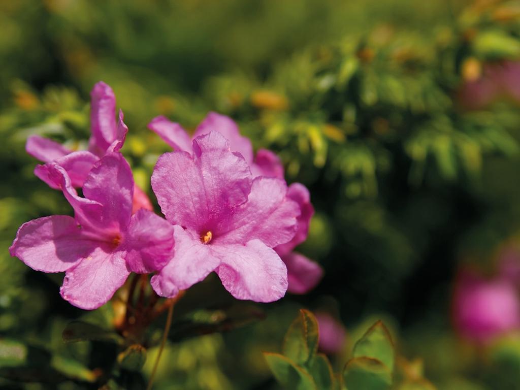 image: La fioritura dei rododendri