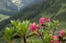 La fioritura dei rododendri