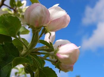 Lo spettacolo dei meli in fiore in Alto Adige