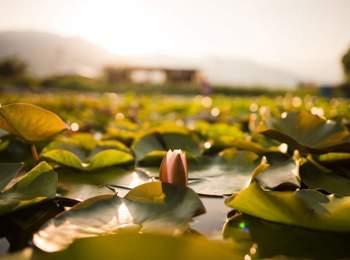 Lotus & water plants at the natural bathing pond Gargazon