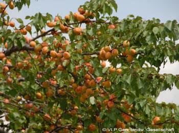 Obst aus dem Vinschgau