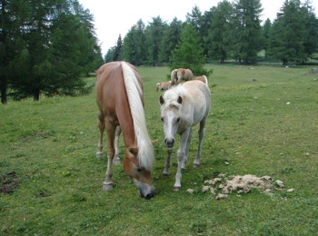Pferde in Meran