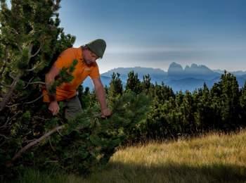 Raccolta di pino mugo