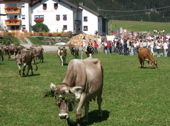 Return of the cattle in Reschen/Resia