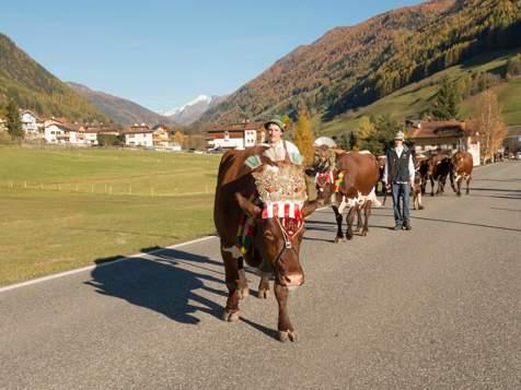 Rientro del bestiame in Valle Aurina