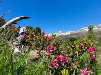 Rose alpine in Vallelunga