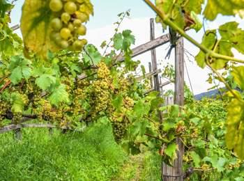 Vineyard in Villanders