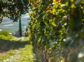 Vineyards in South Tyrol