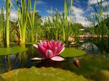 Water lily at the natural bathing pond Gargazon