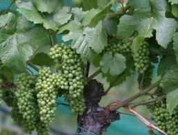 Wein am Gardasee