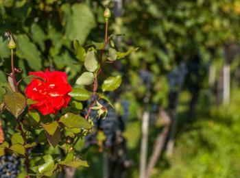 Weinbaulandschaft