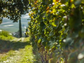 Weinberge in Südtirol