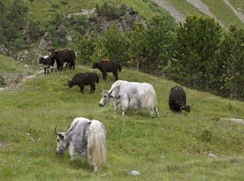 Yaks are going on high pastures with Reinhold Messner